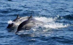 В Чёрном море гибнут дельфины