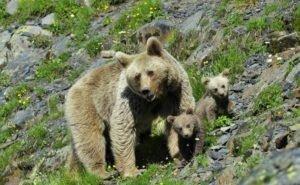 В горах Сочи вместо туристов бродят медведи