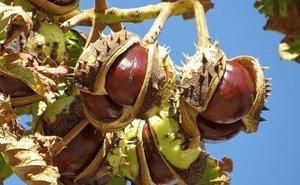 Клин клином: в Сочи против пожирателей каштанов хотят использовать насекомых