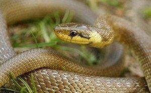 Отдыхающих в Краснодарском крае напугали двухметровые змеи