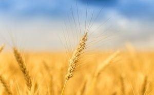 На Кубани стартовала уборка пшеницы местной селекции