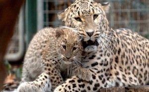 У сочинских леопардов родился детёныш