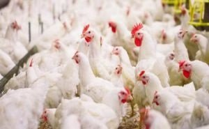 Кубань наращивает объёмы экспорта мяса птицы