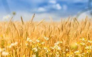 Погодные аномалии не помешали Кубани первой в стране завершить уборку зерна