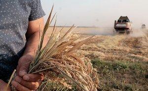 Краснодарский край может потерять до трети урожая риса