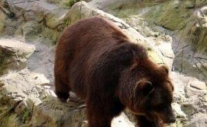 К посту ГАИ в Сочи вышел медведь