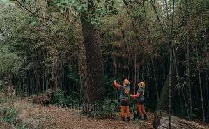 В Сочи для спасения деревьев прибыли специалисты из Москвы