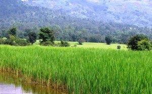 На Кубани планируют собрать больше 800 тысяч тонн риса