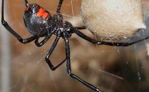 В Краснодарском крае стало больше ядовитых пауков
