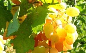 На Кубани появилась лаборатория ускоренной репродукции винограда