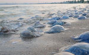 На берег Азовского моря выбросило тысячи медуз