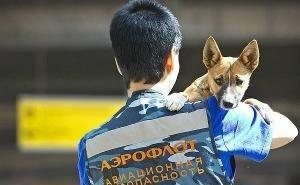 В аэропорту Геленджика больных коронавирусом будут обнаруживать собаки