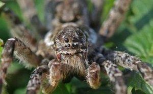 Сочинцы напуганы нашествием пауков-волков