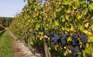 Кубань лидирует в России по застрахованным садам и виноградникам