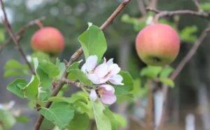 Цветы, появившиеся на деревьях на Кубани, советуют уничтожить