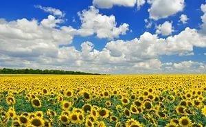 Собранного на Кубани урожая подсолнечника хватит и на экспорт