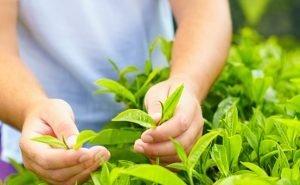 Кубань увеличила сбор урожая чая на 17%