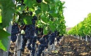 На Кубани винограда собрали на 8,9% меньше