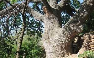 В Сочи проводят «медосмотр» многовековых деревьев