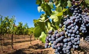 На Кубани принят закон о виноградарстве