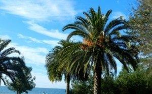 В Сочи разработают программу по защите пальм