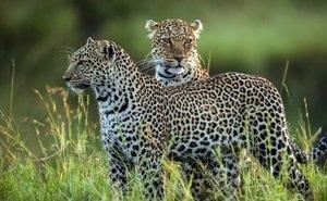 В Сочи из Швеции привезут двух леопардов