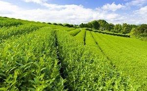 Для выращивания чая на Кубани используют только треть пригодных для этого земель