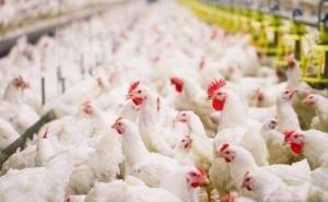 На одной из крупнейших птицефабрик Кубани уничтожат всё поголовье