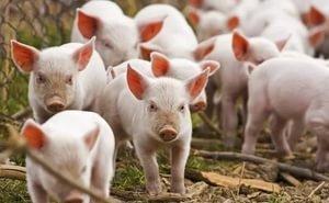 Свыше 11 млрд рублей инвестировано в 2020 году на Кубани в животноводство