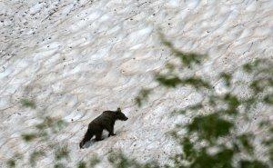 Туристов предупреждают о медведях в горах Сочи