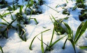 Учёные объяснили, как похолодание на Кубани отразится на урожае