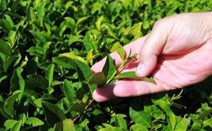 На Кубани займутся выращиванием морозостойких сортов чая