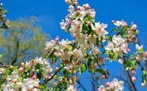 Раннее цветение плодовых деревьев может оставить сочинцев без урожая