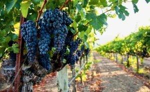 На Кубани завершают инвентаризацию виноградопригодных земель