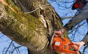 В Краснодаре вырубят более 100 аварийных деревьев