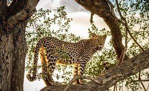 В дикой природе сочинские леопарды не выживают