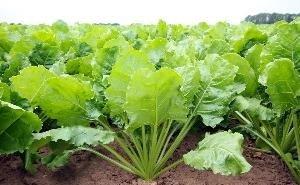 На Кубани увеличивают посевы сахарной свеклы