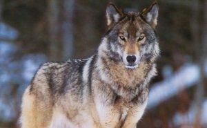 В Кавказском заповеднике впервые пересчитают волков