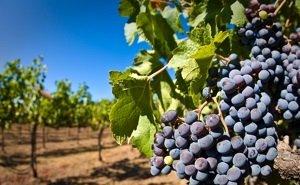 Площадь виноградников на Кубани после инвентаризации выросла вдвое
