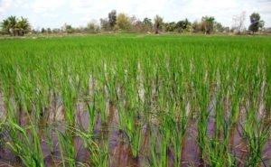В Краснодарском крае будет посеяно 46 сортов риса