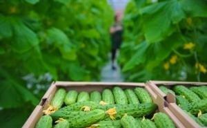 Производство тепличных овощей на Кубани с начала года выросло на треть