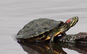 В Сочи расплодились красноухие черепахи