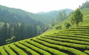 В Сочи появятся историческая и перспективная карты чайных плантаций