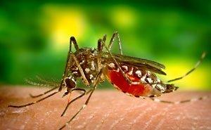 На Кубани жалуются на комаров-убийц