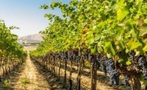 В Генплан Анапы внесены все виноградопригодные земли