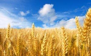 Глава Кубани указал сроки завершения сбора урожая