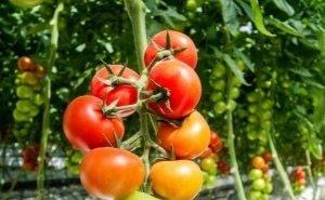 Кубань наращивает производство тепличных овощей