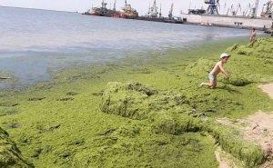 Учёные помогут избавить Анапу от водорослей