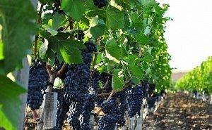 Виноградопригодные земли Кубани выведут в отдельный вид пользования