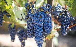 На Кубани прогнозируют гибель 40% винограда